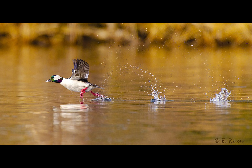 Male Bufflehead by Ed Kaar