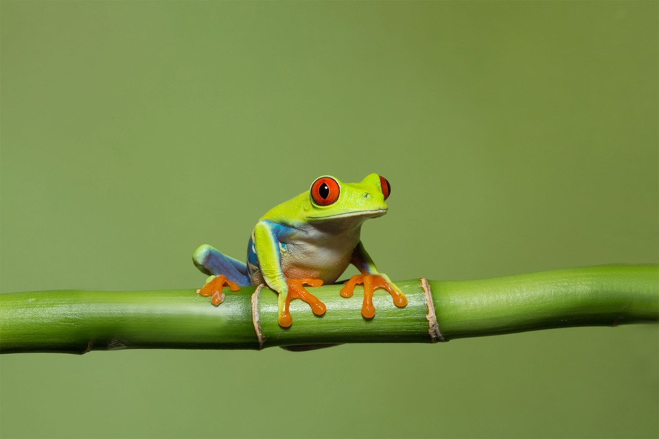 Tree Frog by Erzsi Caparotta