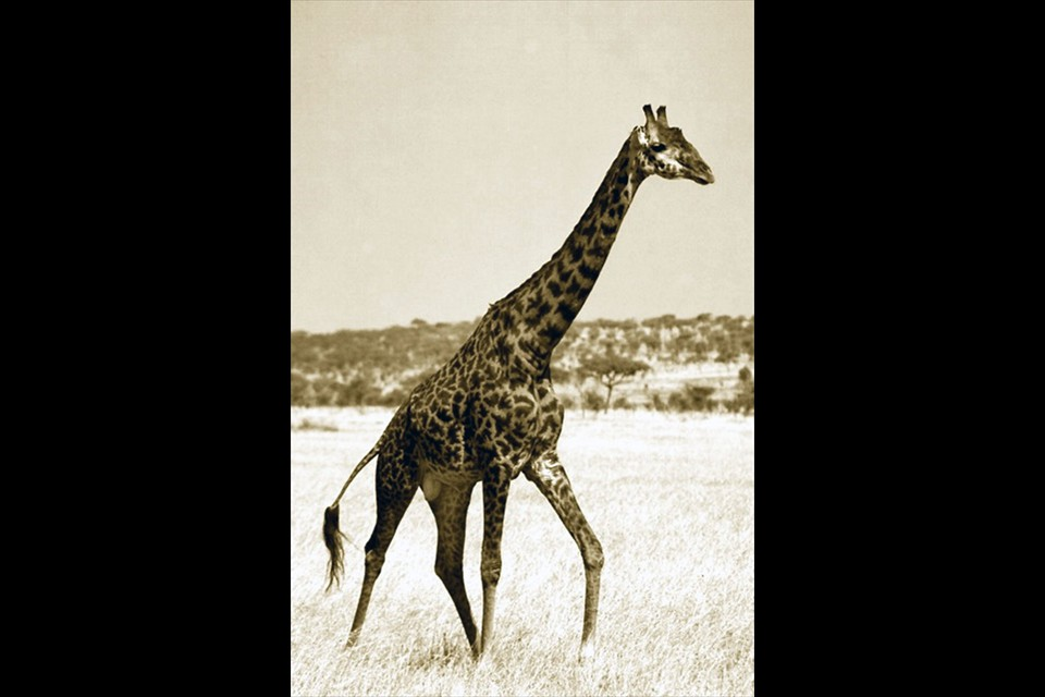 The Independent Giraffe- by Lisa Klepp