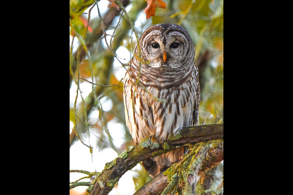 Barred Owl by Leesa Beckmann
