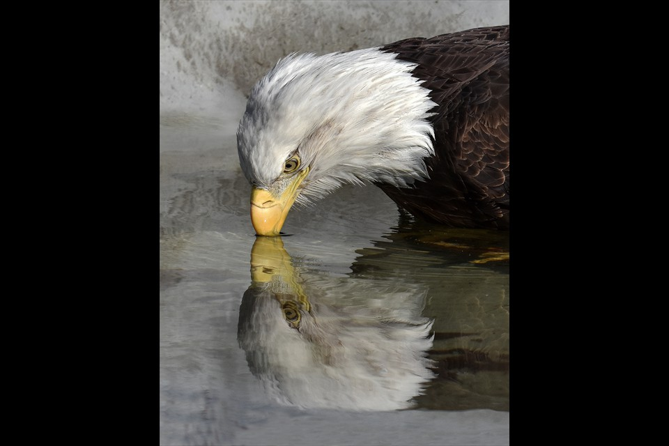 Eagle Reflection by Leesa Beckmann