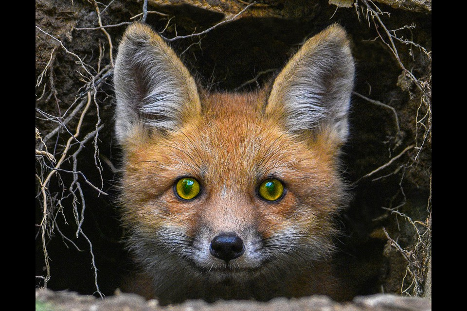 Red Fox Pup by Leesa Beckmann