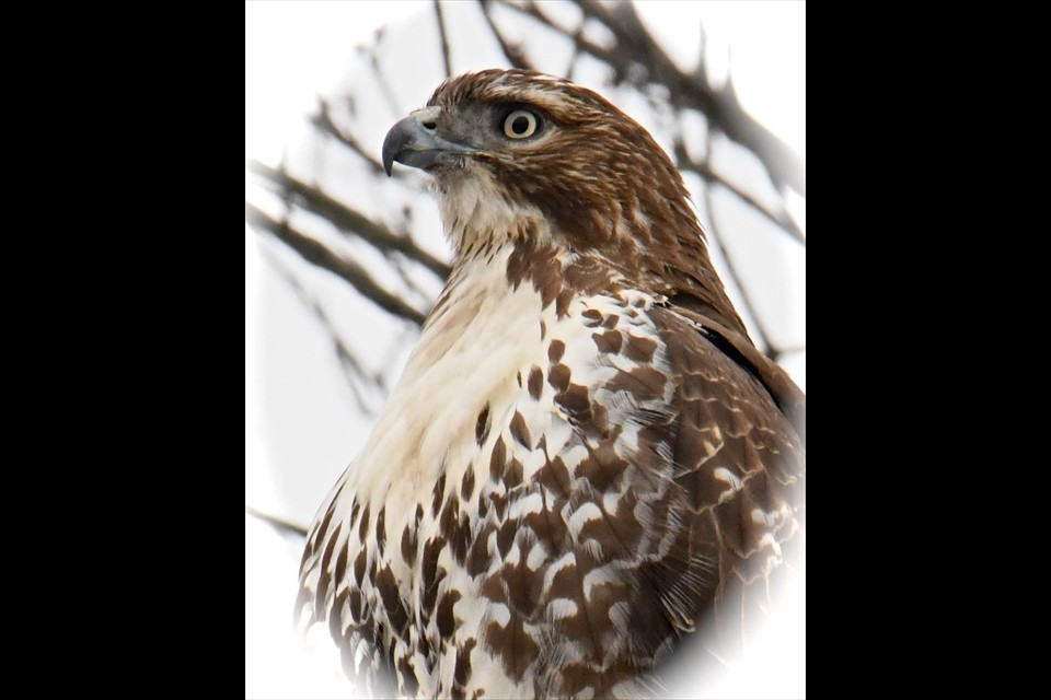 Red Tail Hawk by Marty Wyenn
